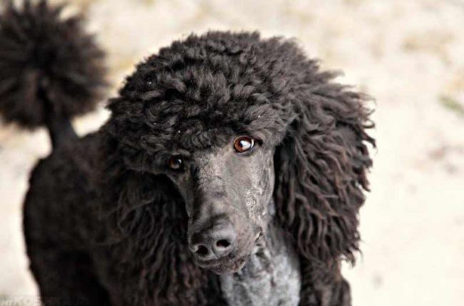Собака породы пудель чёрного окраса