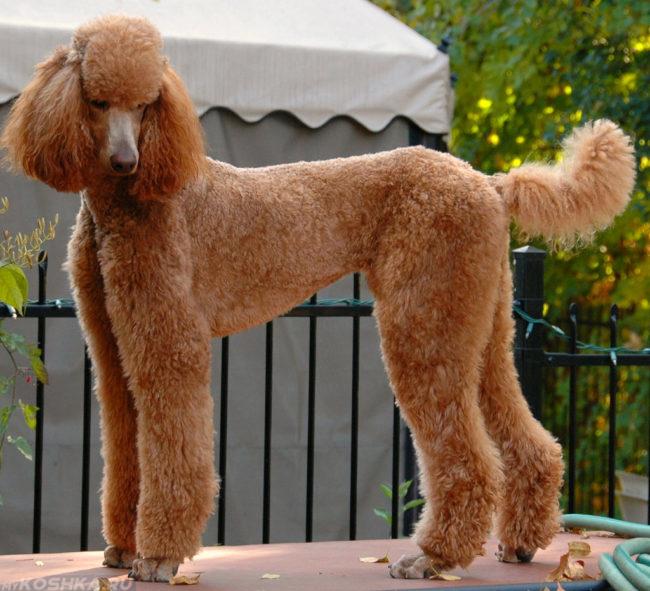 Собака породы пудель коричневого окраса