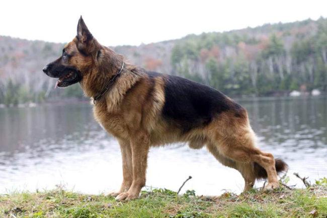 Рахит у собаки породы немецкая овчарка