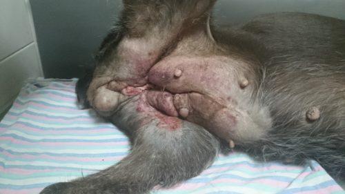 Рак молочной железы у собаки серого окраса