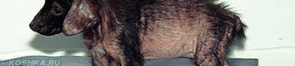 Саркоптоз у щенка внешний вид
