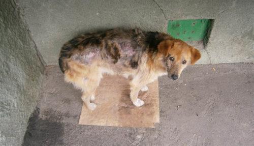 Саркоптоз у собаки на спине
