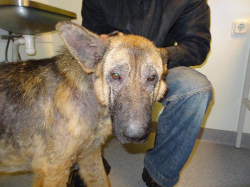 Саркоптоз у собаки и хозяин