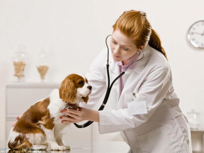 Прослушивание сердца собаки