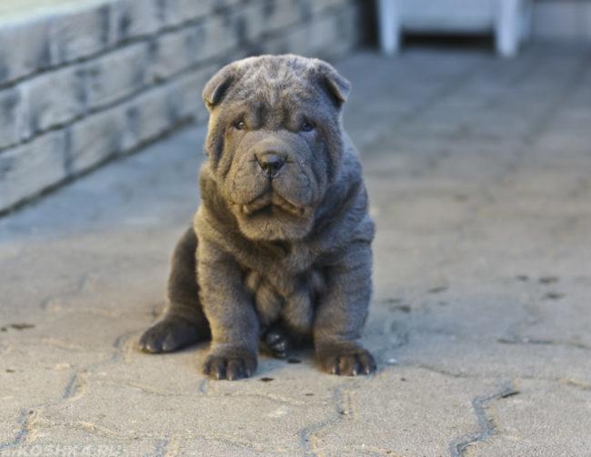 Собака породы шарпей на улице