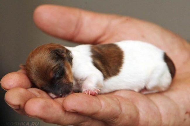 Маленький щенок спящий на ладони