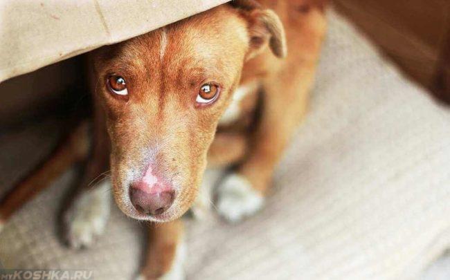 Собака в состоянии стресса