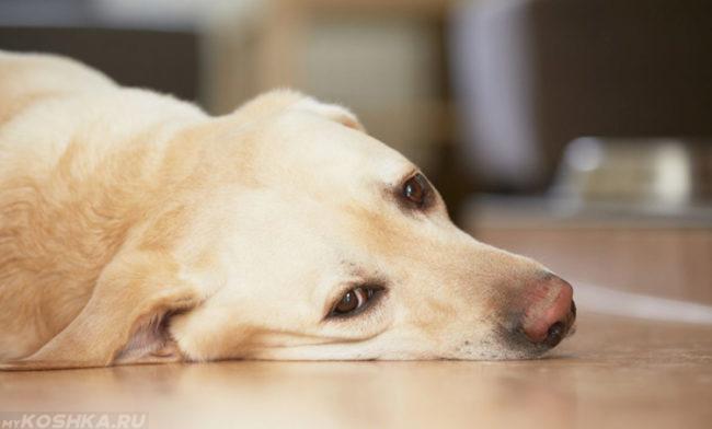 Слабость у собаки лежащей на полу