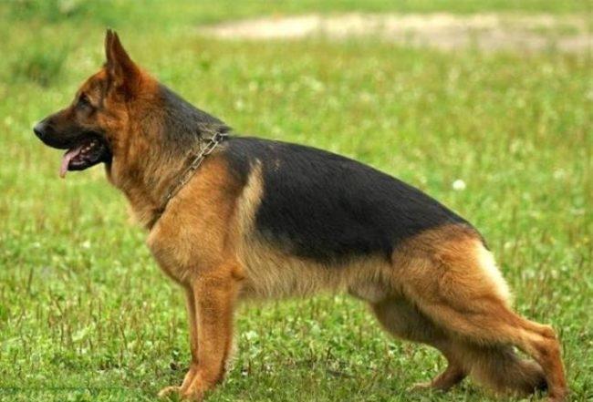 Собака служебной породы