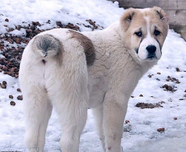 Собака породы алабай на улице зимой