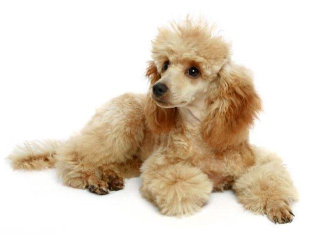 Собака на белом фоне породы пудель