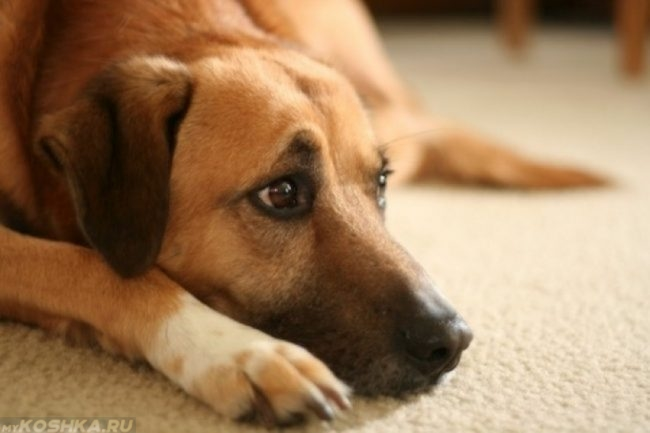 Грустная собака лежащая на ковре