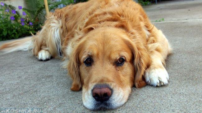 Угнетённая собака лежащая на дороге