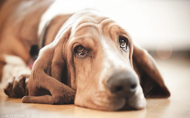 Собака коричневого окраса лежащая на полу