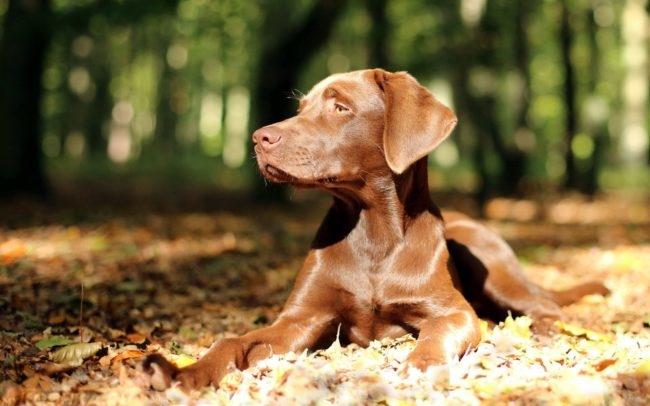 Собака коричневого окраса на солнце
