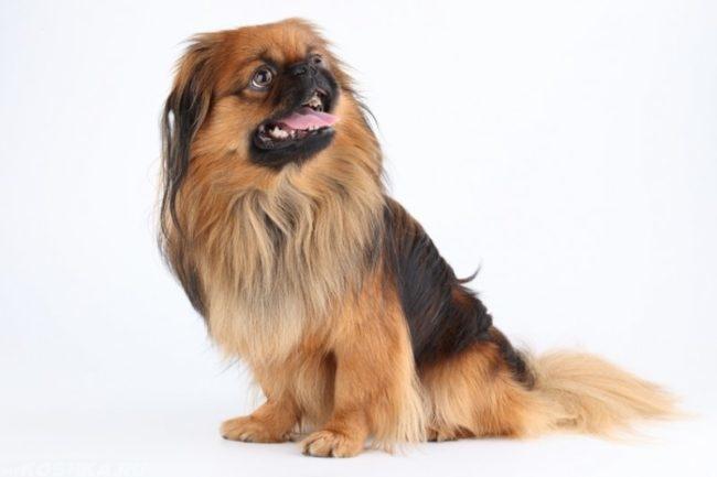 Собака с открытым ртом и высунутым языком