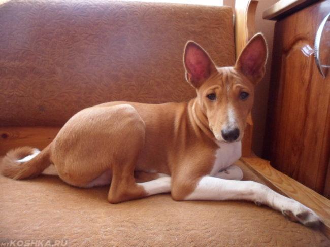 Заболевшая собака с большими ушами