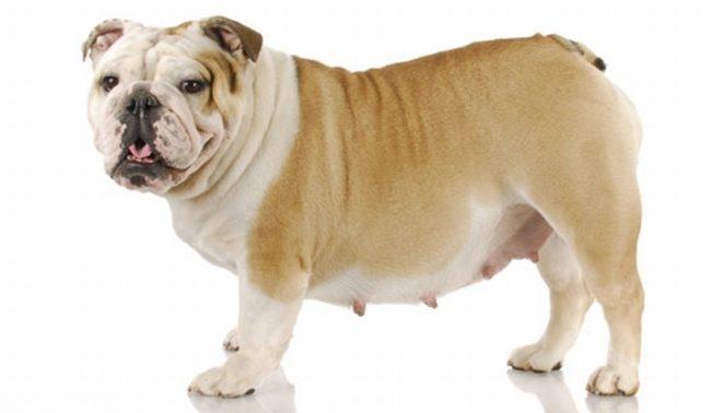 Ложная щенность у собаки