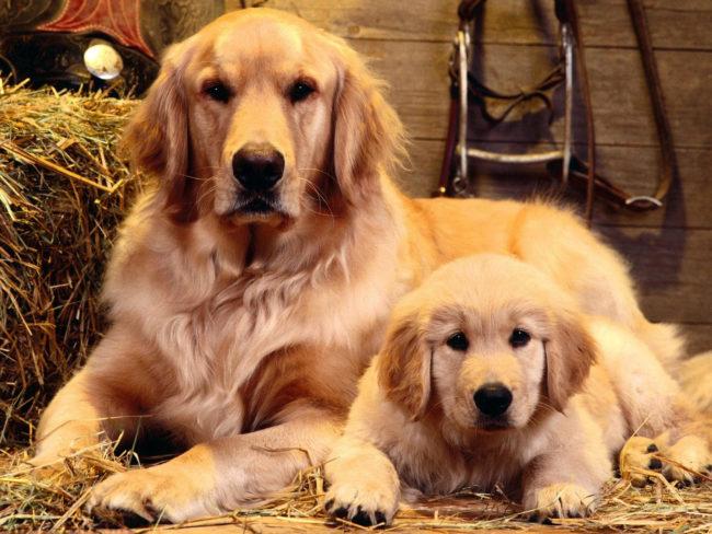 Собака и щенок одного окраса