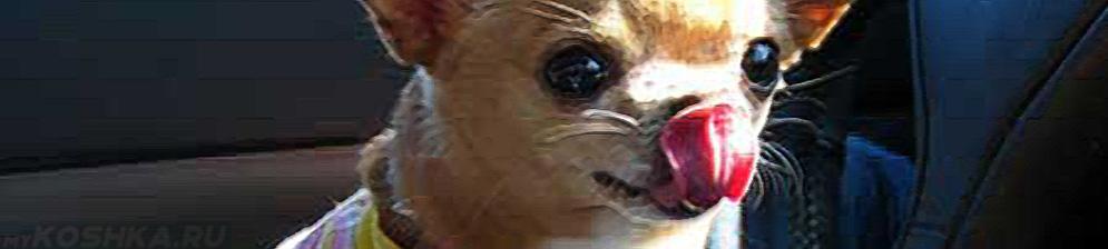 Собака слизывает сопли с морды