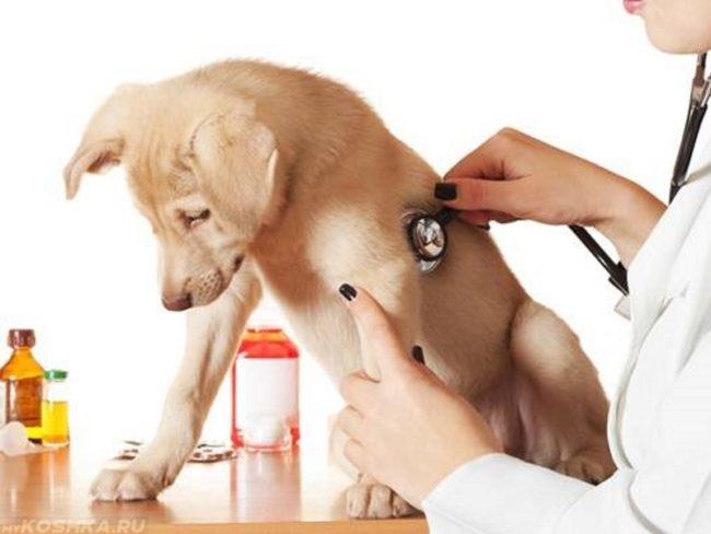 Собака прослушиваемая стетоскопом у ветеринара