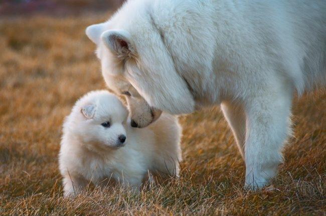 Взрослая собака и щенок белого окраса