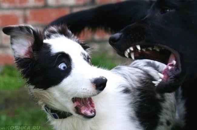 Напугавшийся пёс от лая большой собаки