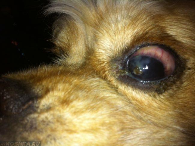 Гиперемия у собаки в приближенном виде