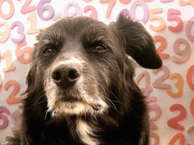 Старая собака на фоне цифр