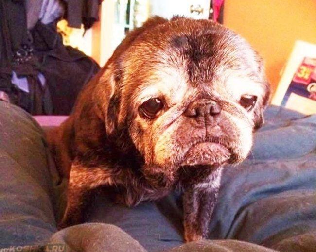 Старая собака на сером диване
