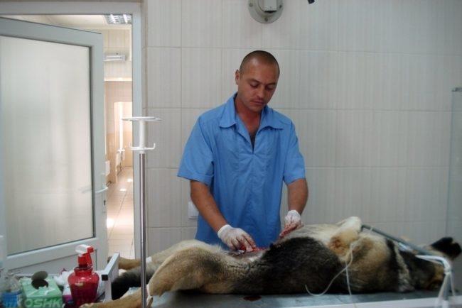 Стерилизация собаки в ветеринарной клинике