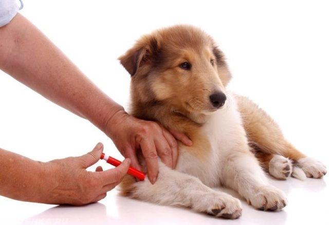 Иммунная сыворотка для собаки