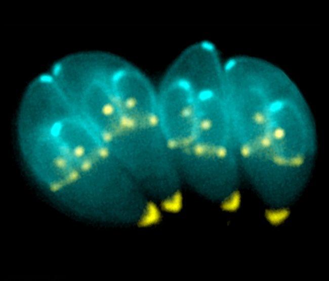 Тахизоиты под микроскопом
