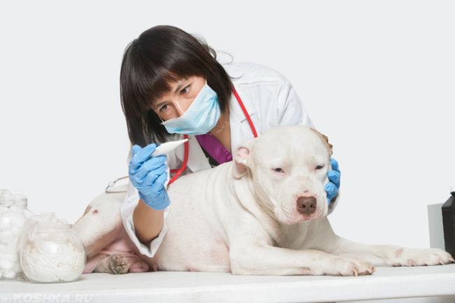 Измерение температуры тела собаки
