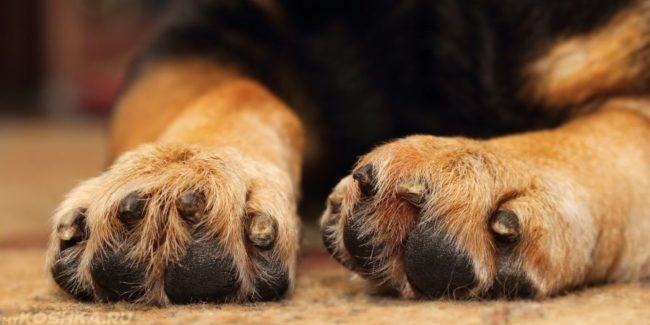 Лапы собаки в приближенном виде