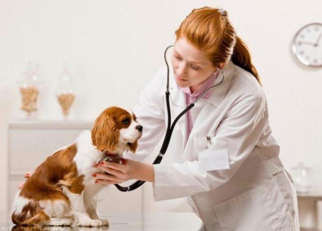 Собака прослушиваемая стетоскопом