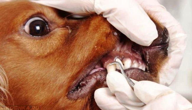 Удаление больного зуба собаке