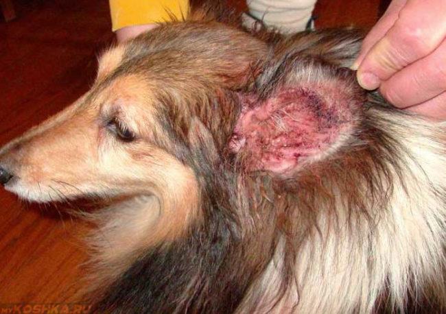 Кожная форма болезни у собаки