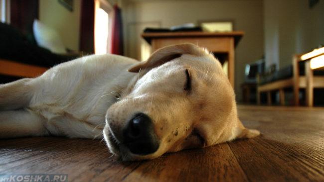 Собака спящая на полу в комнате