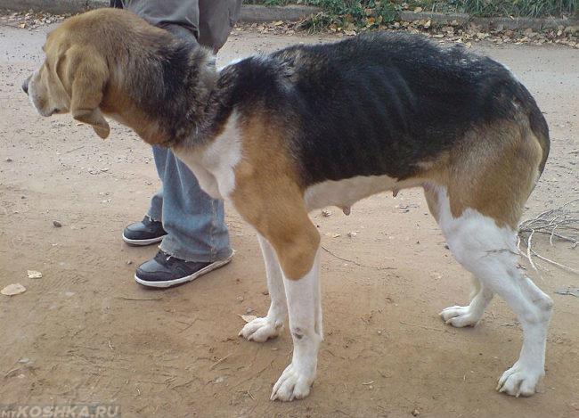 Собака на улице потерявшая вес
