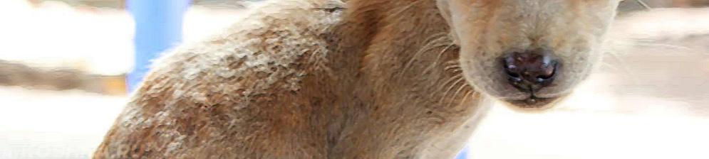 Власоед у собаки на теле