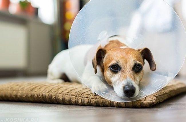 Собака в воротнике после операции