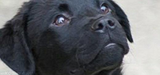 Воспаление третьего века у чёрной собаки