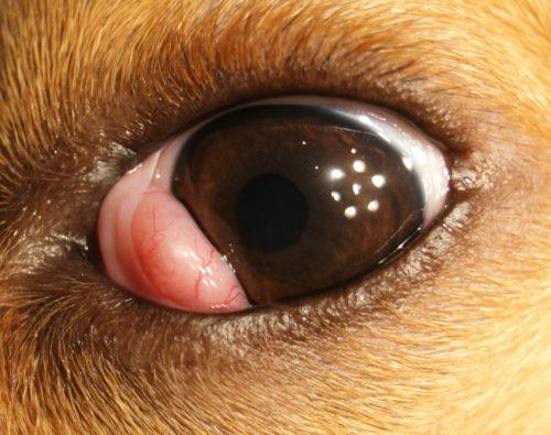 Воспаление третьего века у собаки рыжего окраса