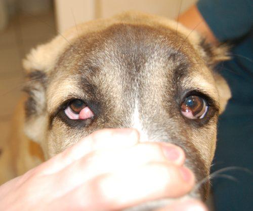 Воспаление третьего века у собаки и рука