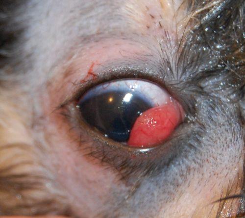 Воспаление третьего века у собаки серого окраса