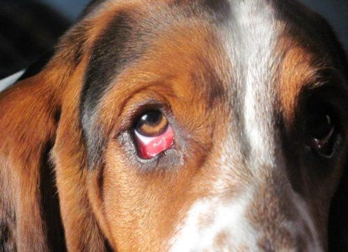 Воспаление третьего века у собаки коричневого окраса