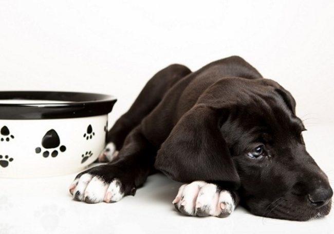 Собака лежащая рядом с миской