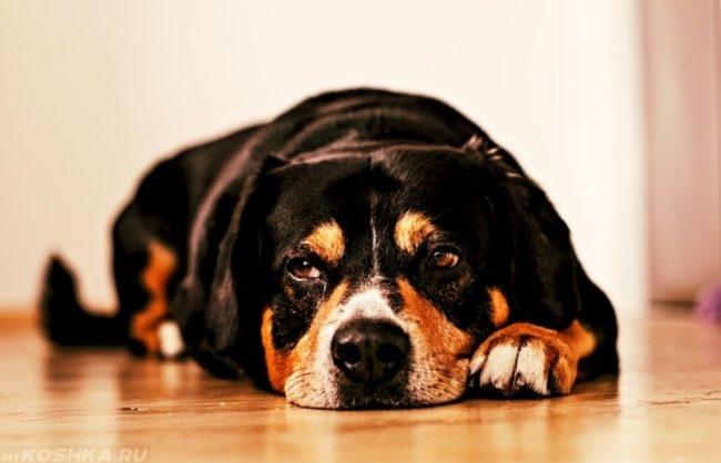 Вялая собака лежащая на полу