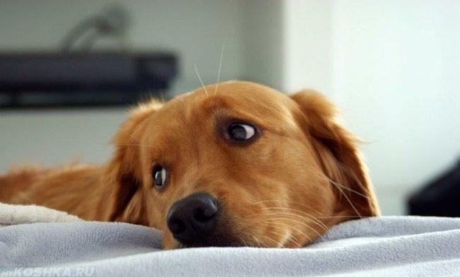 Вялая собака положившая голову на одеяло